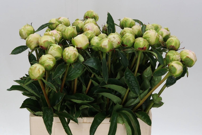 <h4>Paeonia L Ched Cheese</h4>