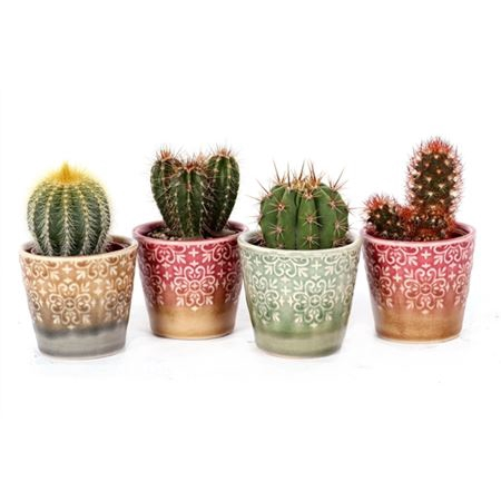 <h4>Cactus Lisboa 5,5 Cm</h4>
