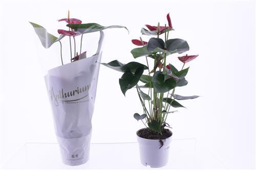 <h4>Anthurium andreanum</h4>
