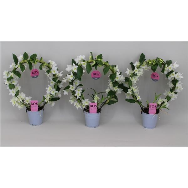 <h4>Dendrobium Nobilé, Special Bow</h4>