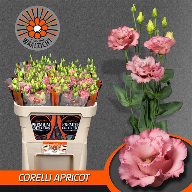 <h4>EUS G CORELLI APRICO</h4>