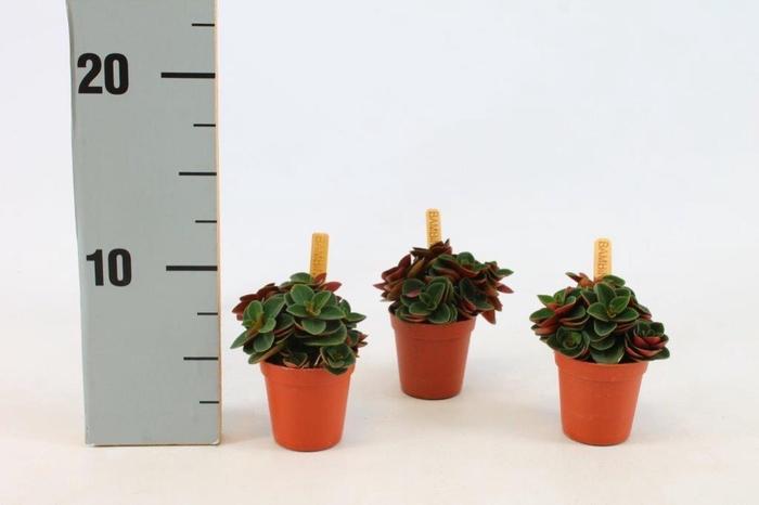 <h4>Peperomia Verticilata Red Log 5,5Ø 10cm</h4>