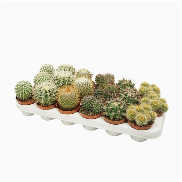 <h4>Bolcactus mix 8,5 cm.</h4>