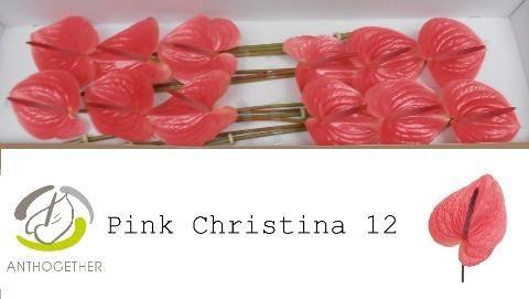 <h4>Anth Pink Christina</h4>