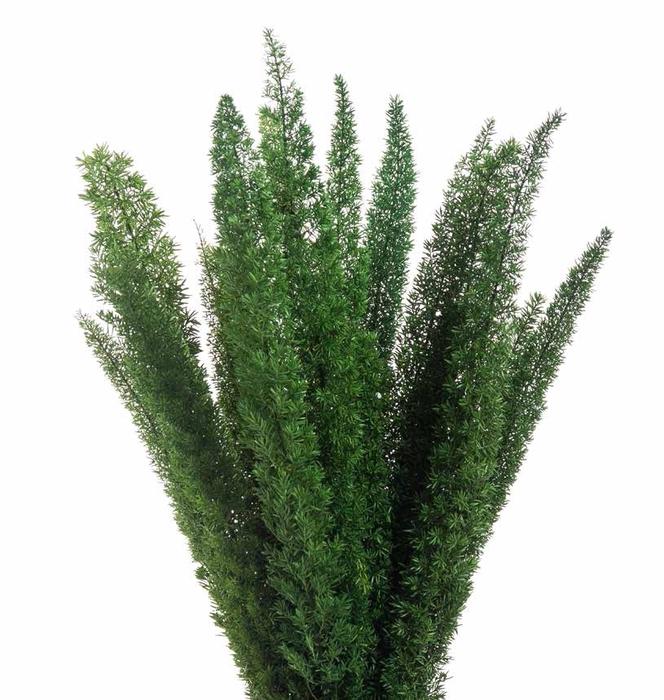 <h4>Foxtail green stabi</h4>