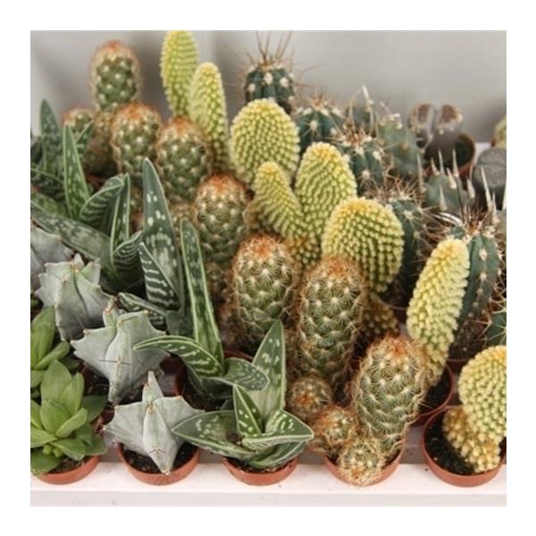 <h4>art.211 Cactus mini 3.5 cm</h4>