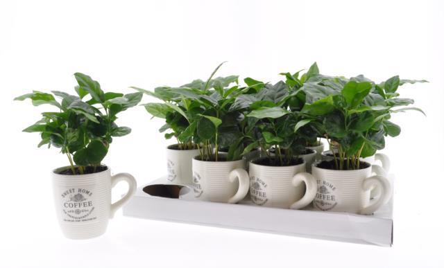 <h4>Coffea Arabica in pot 9Ø 20cm</h4>