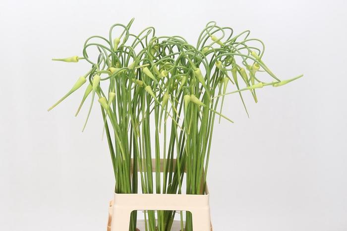 <h4>Allium Sativum Ophioscorodon</h4>