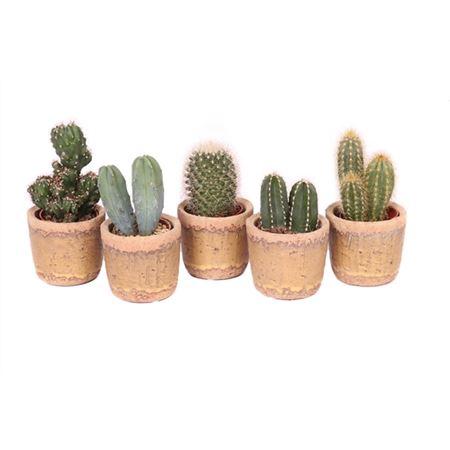 <h4>Cactus 5,5 Cm Mix In Anthony Pot</h4>