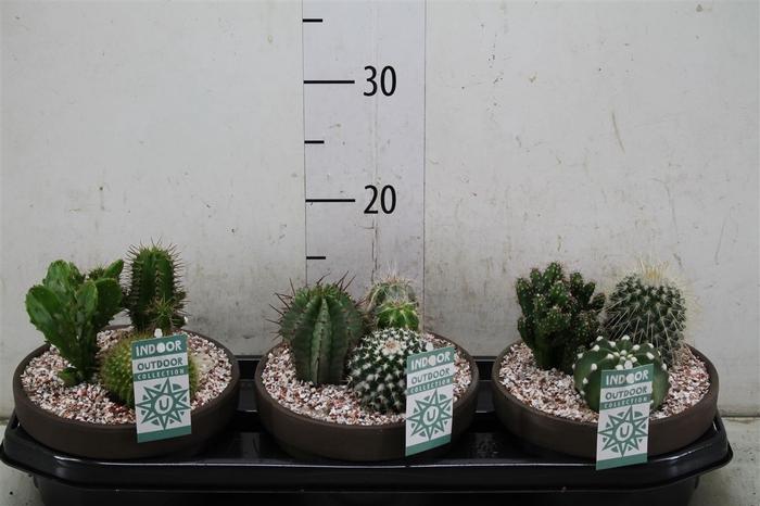 <h4>Cactus Gemengd 3pp In Schaal</h4>