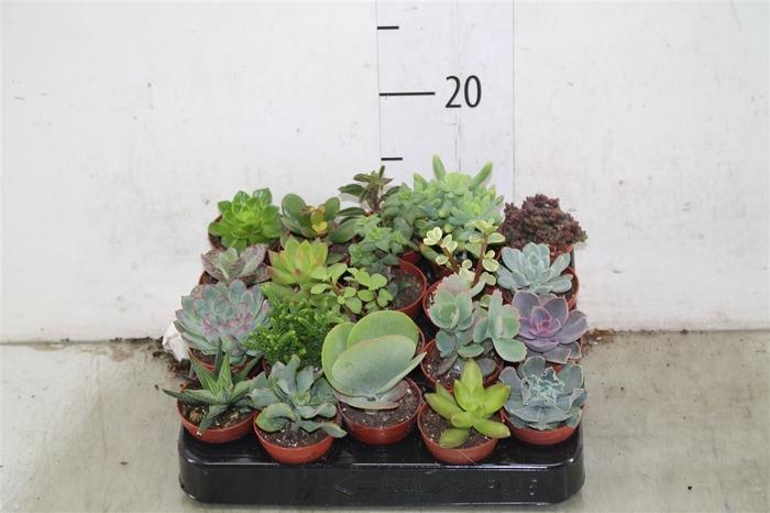 <h4>Succulenten Gemengd</h4>