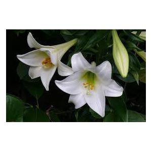 Lilium Longiflorum 2 buds