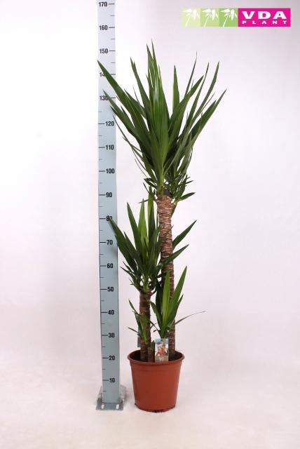 <h4>Yucca 24Ø 155cm 2Head</h4>