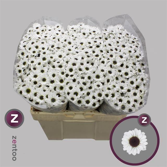 <h4>Chrysanthemum SA 'Yin Yang'</h4>