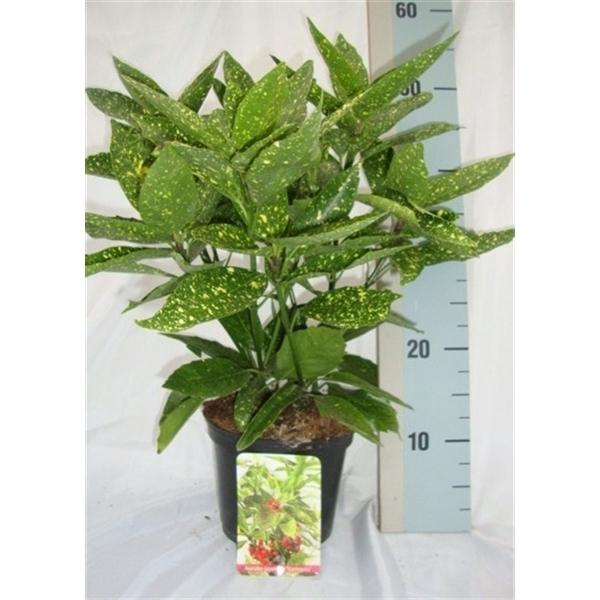 <h4>Aucuba japonica 'Variegata'</h4>