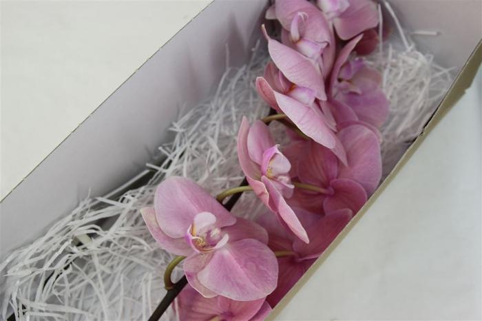 <h4>Phalaenopsis Akita</h4>
