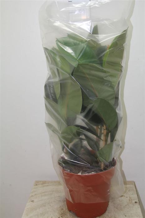 <h4>Ficus Robusta 3pp</h4>