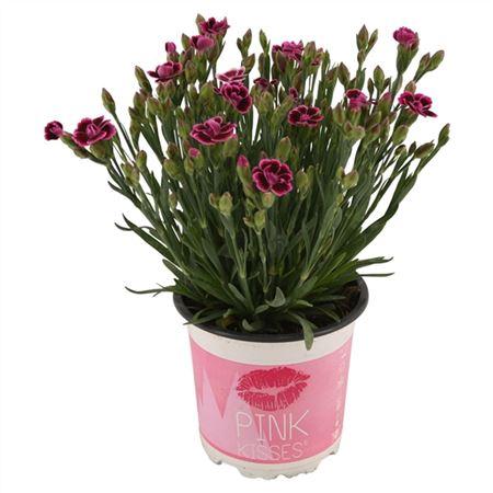 <h4>Dianthus Pink Kisses Nl 10,5 Cm</h4>