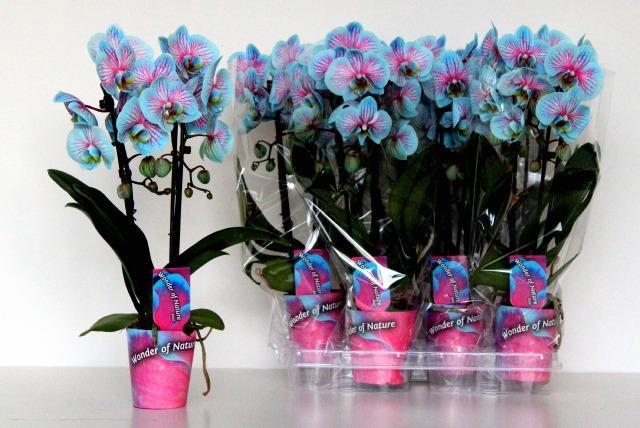 <h4>Phalaenopsis 9Ø 45cm</h4>