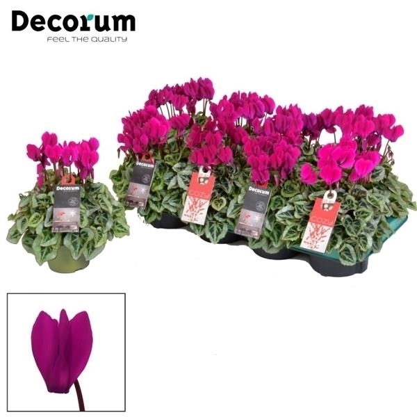 <h4>Cyclamen SS Picasso Violet Decorum</h4>