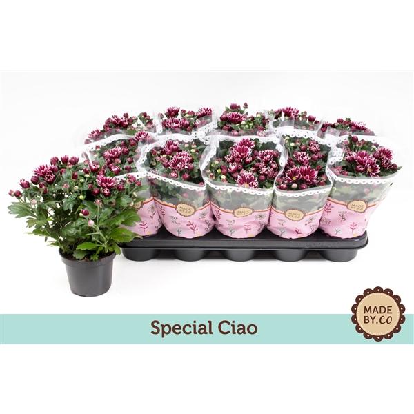 <h4>Chrysanthemum Ciao</h4>