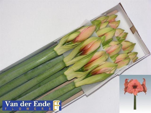 <h4>Amaryllis Bouquet</h4>