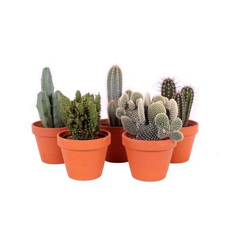 <h4>Cactus Roodsteen Bloempot 15 Cm</h4>
