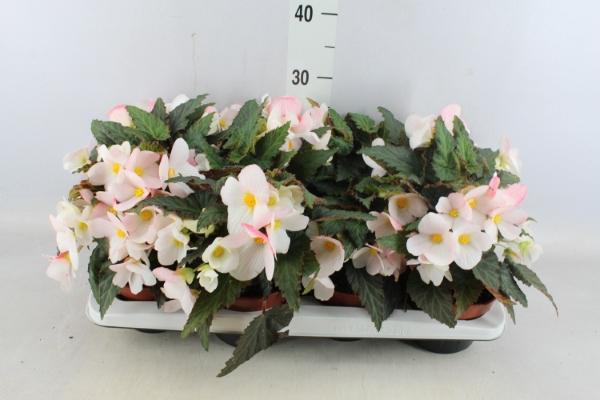 <h4>Begonia  'Florencio White'</h4>