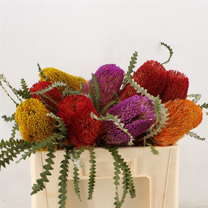 Banksia Speciosa Mixed Colours