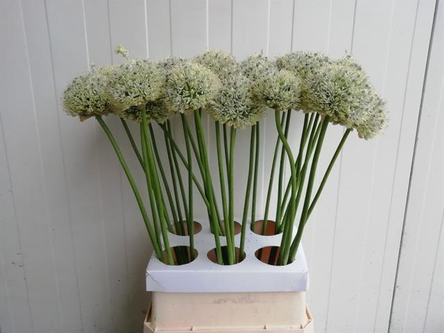<h4>ALLIUM MOUNT EVEREST</h4>