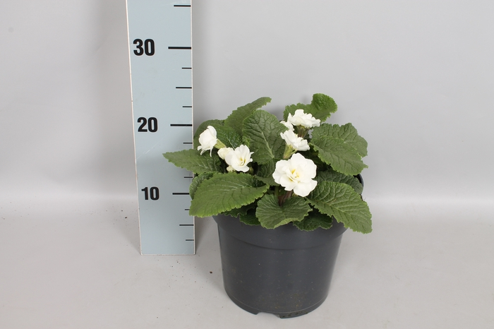 <h4>Primula Princess White 19 cm</h4>