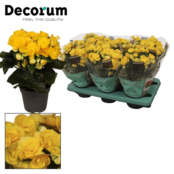 <h4>Begonia ''rebecca'' geel Decorum</h4>