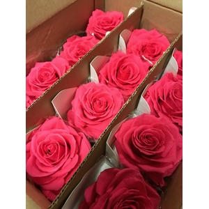 Rose on stem xl bulk 55cm fuchsia