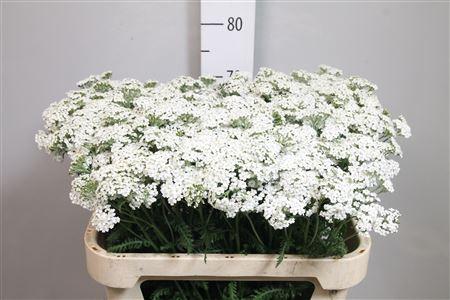 <h4>Achil M White Beauty</h4>