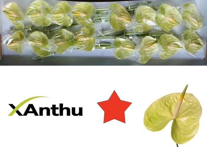 <h4>ANTH A LEMONA</h4>