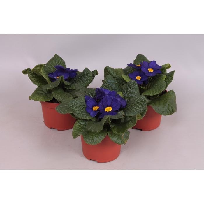 <h4>Primula acaulis Blauw</h4>