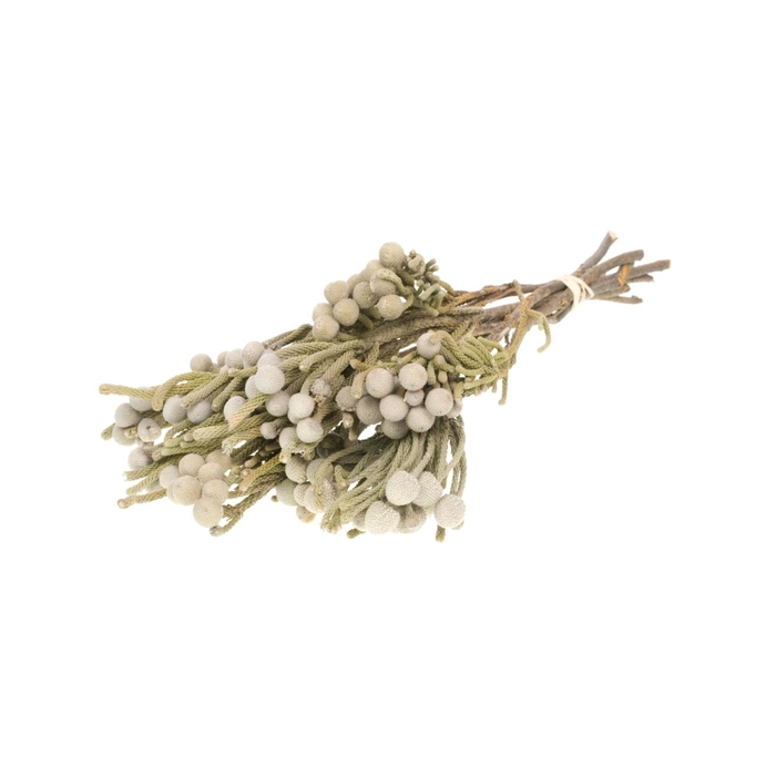 <h4>Brunia natural</h4>