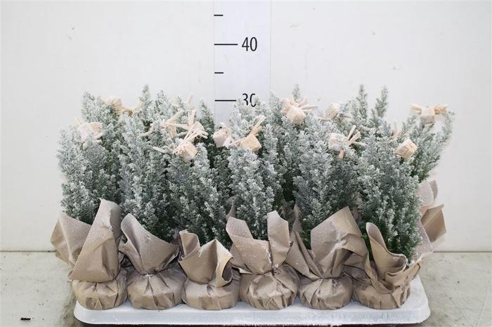 <h4>Kerstb Versierd Snow Potcover Deco</h4>