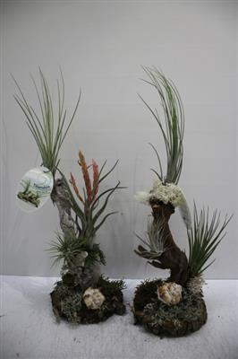 <h4>Tillandsia pot laag</h4>