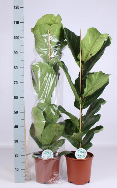 <h4>Ficus Lyrata 21Ø 110cm</h4>