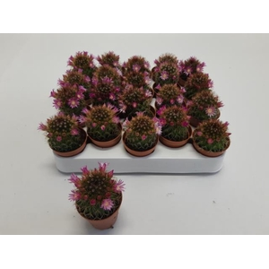 Cactus Flowering 5,5Ø 10cm