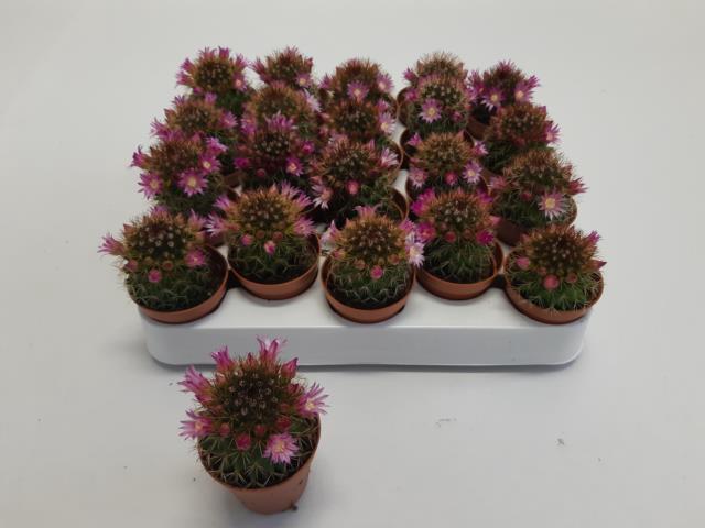 <h4>Cactus Flowering 5,5Ø 10cm</h4>
