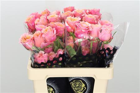 <h4>R Eq Gr Gar Pink Ohara</h4>