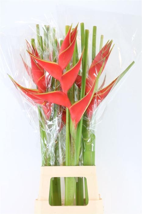 <h4>Hel Iris Red 90cm</h4>