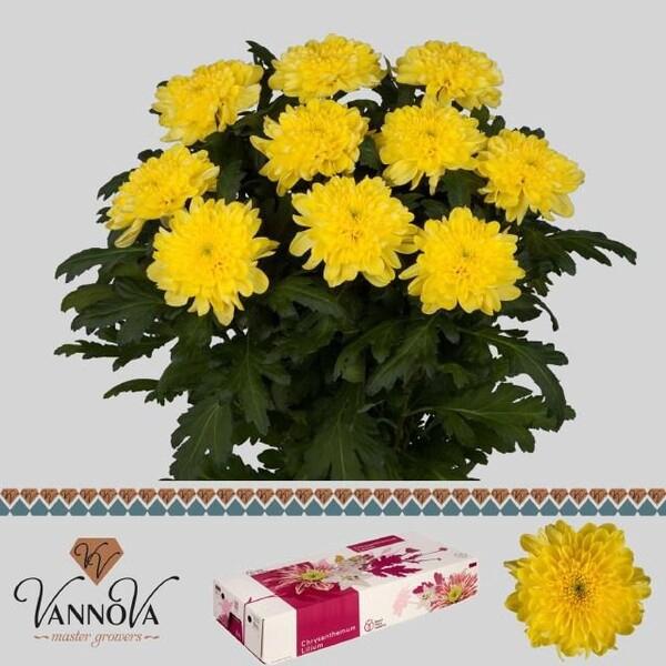 <h4>Chrys. pluis Zembla Yellow</h4>