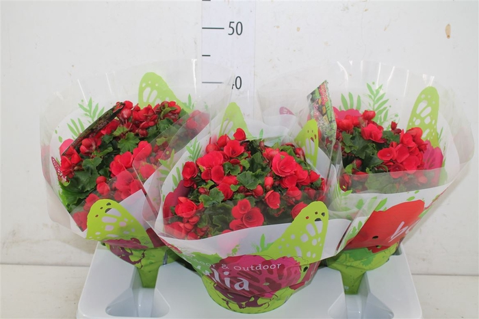 <h4>Begonia Hl Betulia Rood</h4>