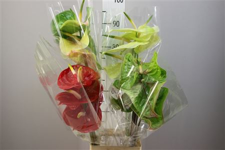<h4>Anthurium A Mix</h4>