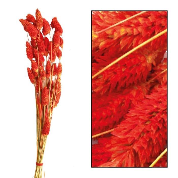 <h4>DRIED FLOWERS - PHALARIS RED-BROWN 50gr</h4>