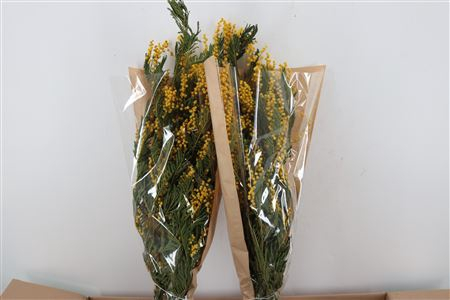 <h4>DRIED MIMOSA LARGE BUNCH</h4>
