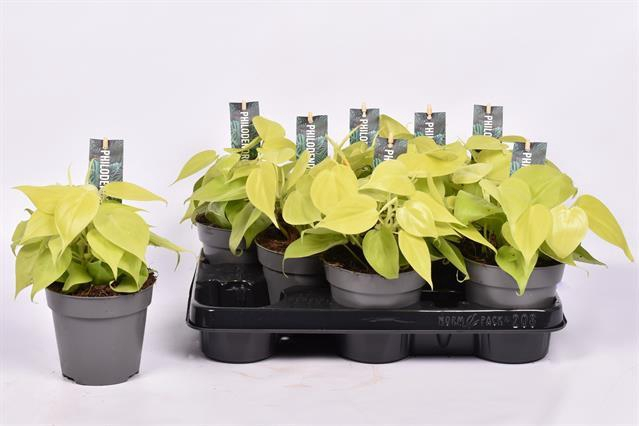 <h4>Philodendron scandens subsp. micans</h4>